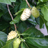 Noni Fruit on tree